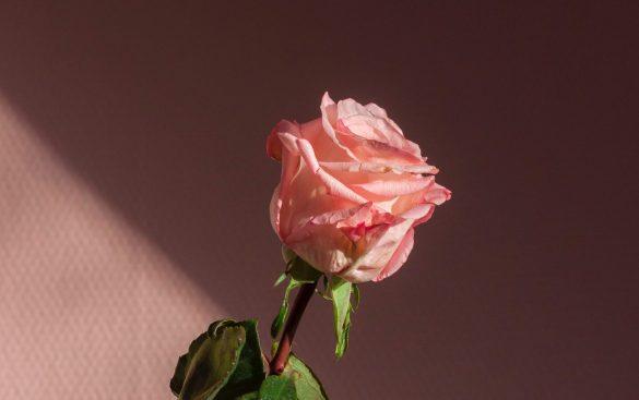 rózsa, kiborg növények téma